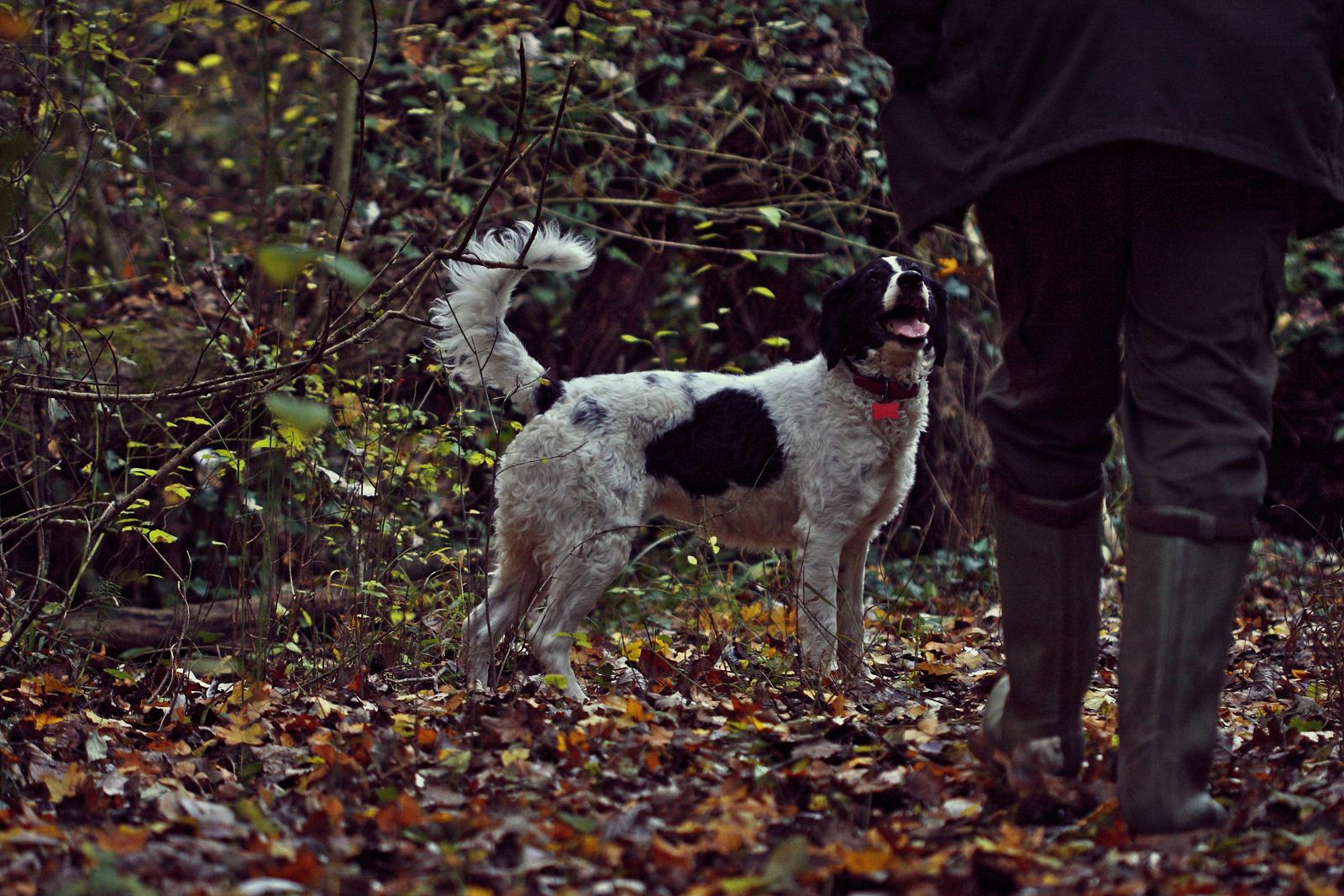 perro caza trufas