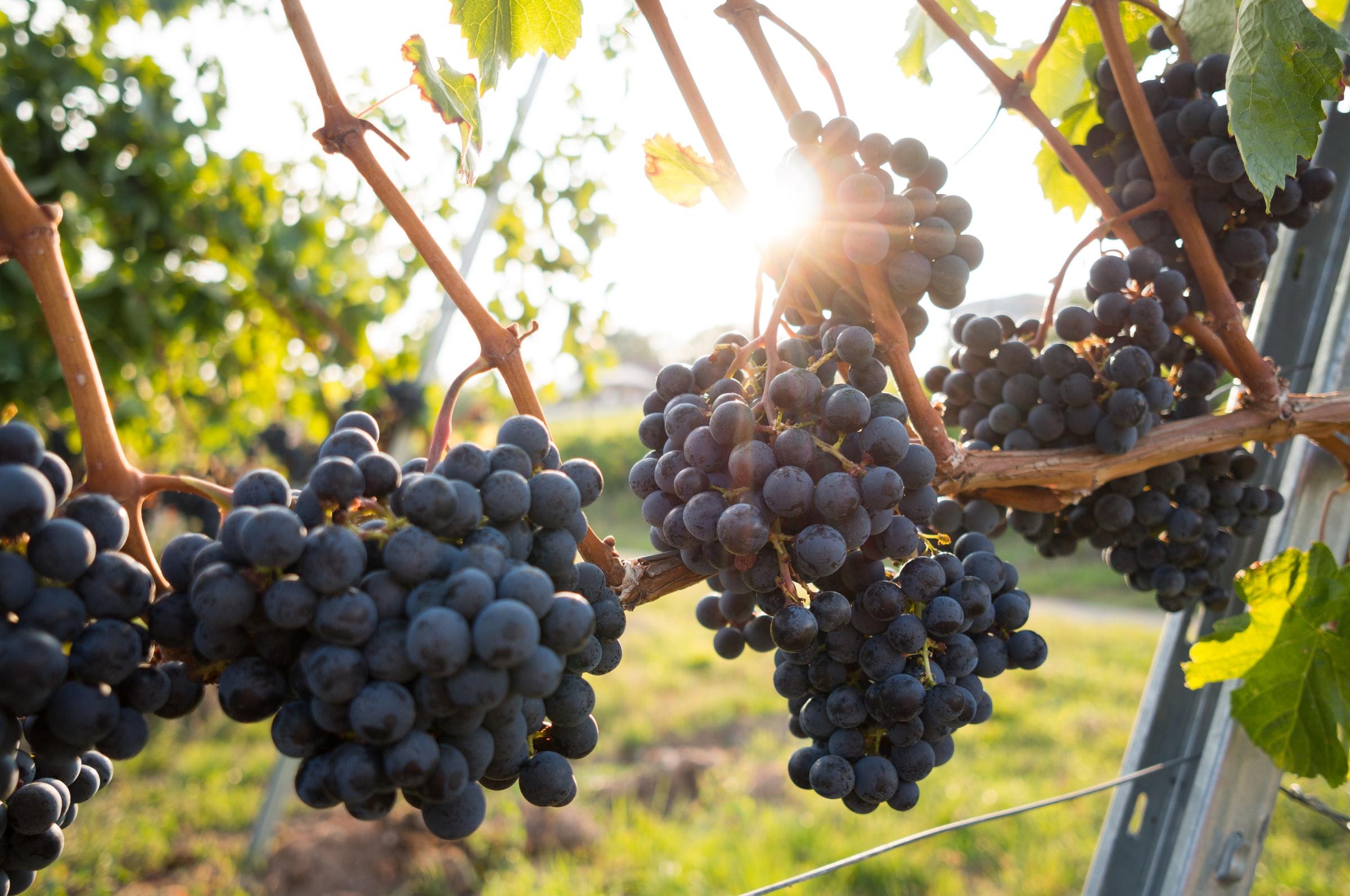 Racimos de uvas al sol.