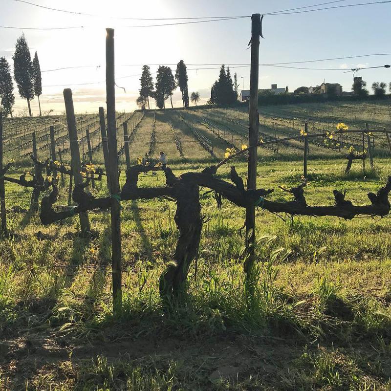 Un tempranillo en la Toscana.